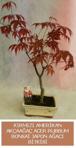 Amerikan akçaağaç Acer Rubrum bonsai  Amasya uluslararası çiçek gönderme