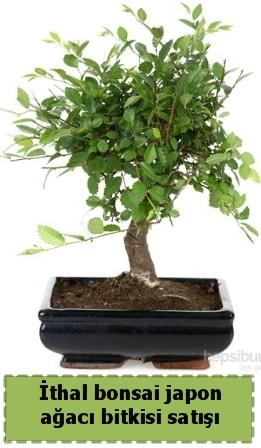 İthal bonsai saksı çiçeği Japon ağacı satışı  Amasya İnternetten çiçek siparişi