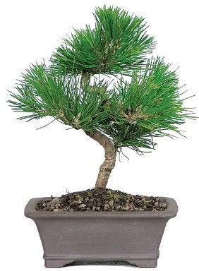 Çam ağacı bonsai japon ağacı bitkisi  Amasya çiçek gönderme