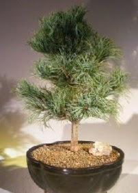 Çam ağacı bonsai bitkisi satışı  Amasya ucuz çiçek gönder