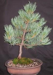 Bonsai çam ağacı japon ağacı bitkisi  Amasya çiçek siparişi sitesi
