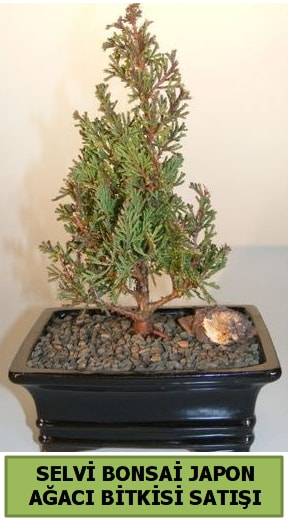 Selvi çam japon ağacı bitkisi bonsai  Amasya çiçekçi telefonları