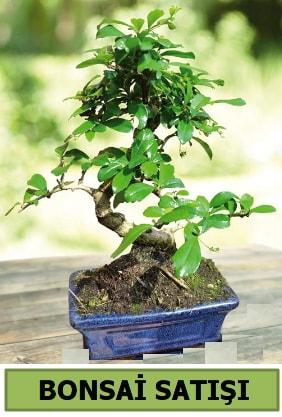 Çam bonsai japon ağacı satışı  Amasya çiçek satışı