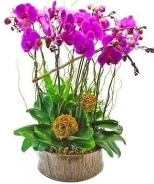 Ahşap kütükte lila mor orkide 8 li  Amasya internetten çiçek satışı
