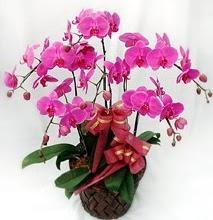 Sepet içerisinde 5 dallı lila orkide  Amasya ucuz çiçek gönder