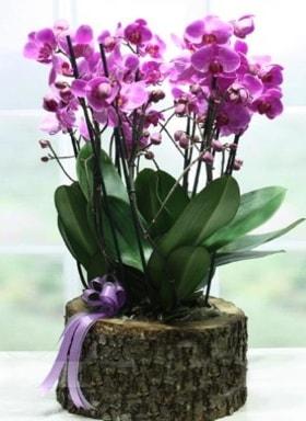 Kütük içerisinde 6 dallı mor orkide  Amasya ucuz çiçek gönder