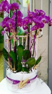 Seramik vazoda 4 dallı mor lila orkide  Amasya online çiçek gönderme sipariş