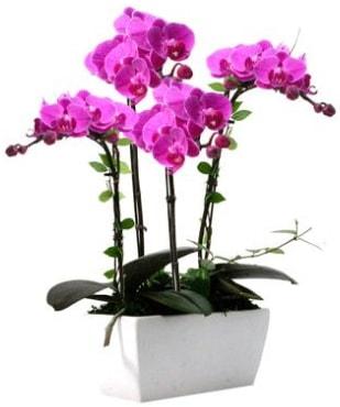 Seramik vazo içerisinde 4 dallı mor orkide  Amasya çiçek satışı