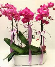 Beyaz seramik içerisinde 4 dallı orkide  Amasya ucuz çiçek gönder