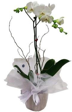 Tek dallı beyaz orkide  Amasya cicek , cicekci
