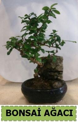 Bonsai ağacı japon ağacı satışı  Amasya hediye çiçek yolla