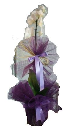 Tek dallı beyaz orkide süper kalite ithal  Amasya çiçek siparişi sitesi