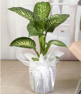 Tropik saksı çiçeği bitkisi  Amasya çiçek satışı