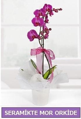 Seramik içerisinde birinci kalite tek dallı mor orkide  Amasya İnternetten çiçek siparişi