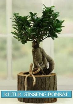 Kütük ağaç içerisinde ginseng bonsai  Amasya çiçek gönderme sitemiz güvenlidir
