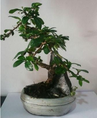 S şeklinde ithal bonsai ağacı  Amasya çiçek yolla