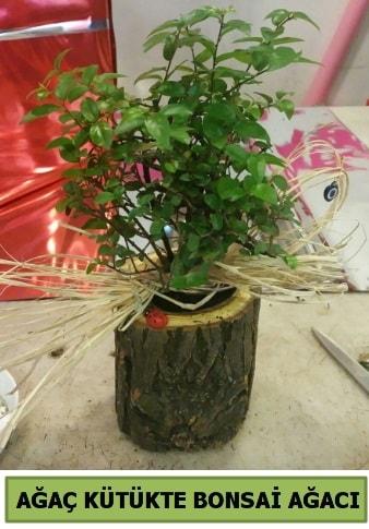 Doğal ağaç kütük içerisinde bonsai ağacı  Amasya çiçek gönderme sitemiz güvenlidir