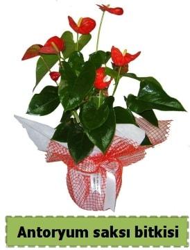 Antoryum saksı bitkisi satışı  Amasya çiçek , çiçekçi , çiçekçilik