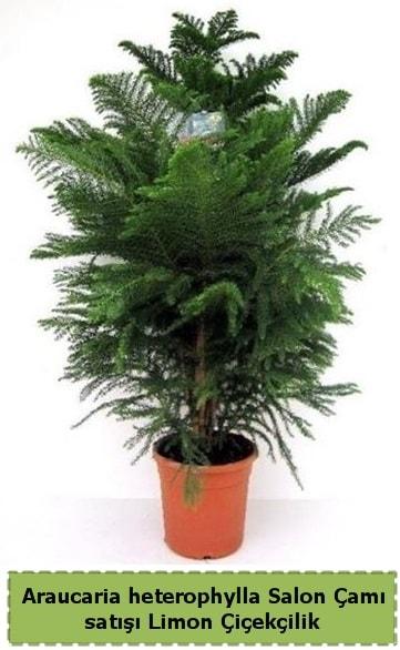 Salon Çamı Satışı Araucaria heterophylla  Amasya çiçek satışı