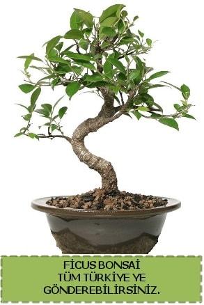 Ficus bonsai  Amasya çiçek gönderme sitemiz güvenlidir