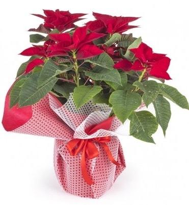 Atatürk çiçeği saksı bitkisi  Amasya çiçek gönderme sitemiz güvenlidir