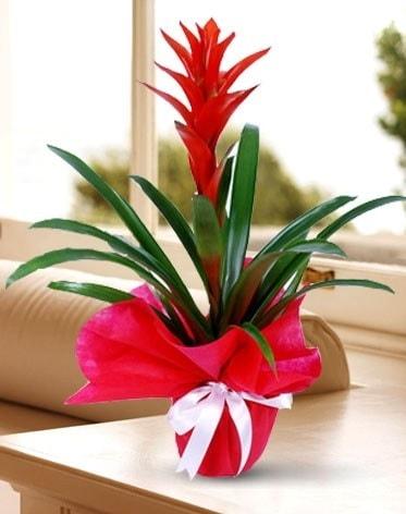 Guzmanya Saksı Çiçeği  Amasya çiçek yolla