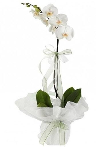 Tekli Beyaz Orkide  Amasya hediye çiçek yolla