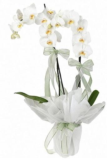 Çift Dallı Beyaz Orkide  Amasya anneler günü çiçek yolla