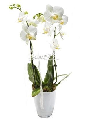 2 dallı beyaz seramik beyaz orkide saksısı  Amasya çiçek gönderme sitemiz güvenlidir