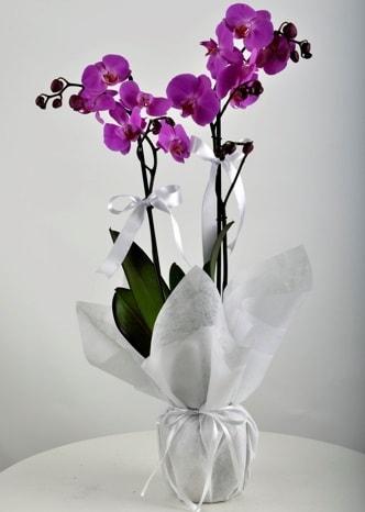 Çift dallı saksıda mor orkide çiçeği  Amasya çiçek siparişi vermek