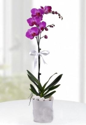 Tek dallı saksıda mor orkide çiçeği  Amasya çiçekçiler