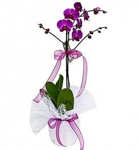 Tek dallı saksıda ithal mor orkide çiçeği  Amasya çiçekçiler