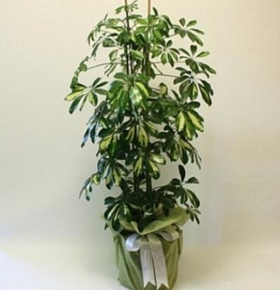 Şeflera salon bitkisi  Amasya çiçek gönderme