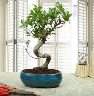 Amazing Bonsai Ficus S İthal  Amasya internetten çiçek siparişi