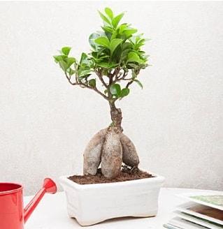 Exotic Ficus Bonsai ginseng  Amasya çiçek servisi , çiçekçi adresleri