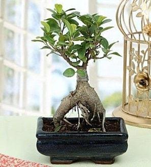 Appealing Ficus Ginseng Bonsai  Amasya anneler günü çiçek yolla