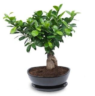 Ginseng bonsai ağacı özel ithal ürün  Amasya internetten çiçek satışı