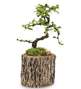 Doğal kütükte S bonsai ağacı  Amasya çiçek satışı