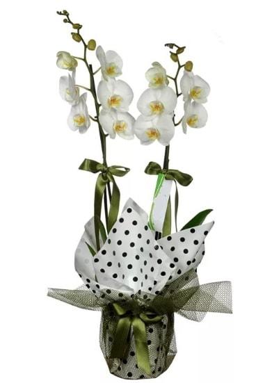 Çift Dallı Beyaz Orkide  Amasya 14 şubat sevgililer günü çiçek