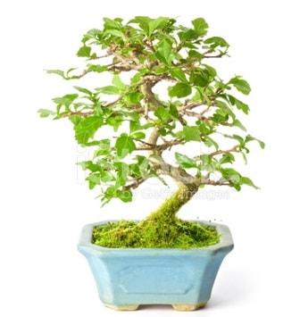 S zerkova bonsai kısa süreliğine  Amasya İnternetten çiçek siparişi