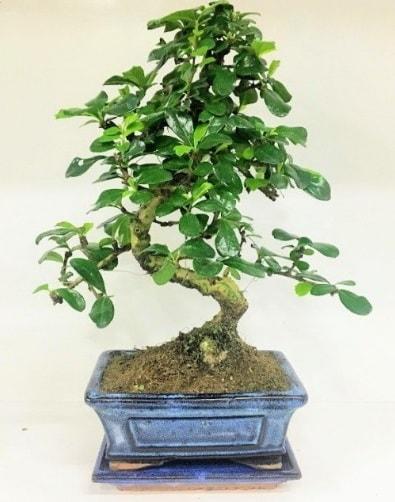 S Bonsai japon ağacı bitkisi  Amasya uluslararası çiçek gönderme