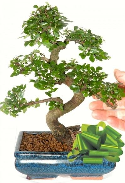 Yaklaşık 25 cm boyutlarında S bonsai  Amasya çiçek siparişi sitesi
