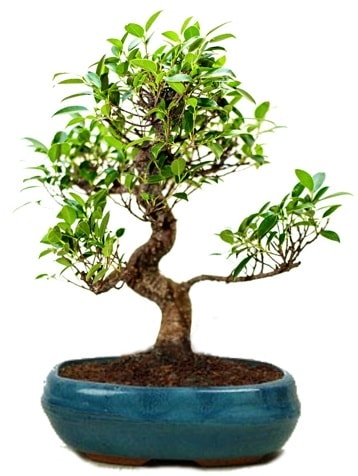 25 cm ile 30 cm aralığında Ficus S bonsai  Amasya çiçek gönderme sitemiz güvenlidir