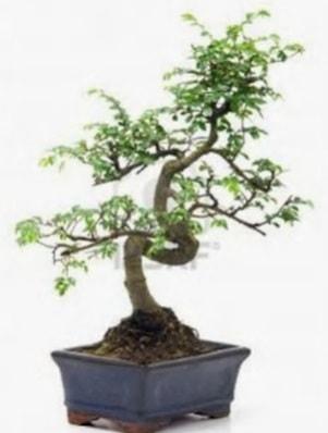 S gövde bonsai minyatür ağaç japon ağacı  Amasya çiçek satışı