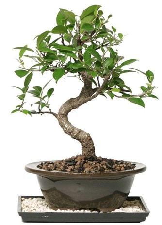 Altın kalite Ficus S bonsai  Amasya çiçekçi telefonları  Süper Kalite