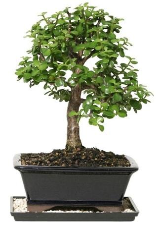 15 cm civarı Zerkova bonsai bitkisi  Amasya çiçek siparişi sitesi