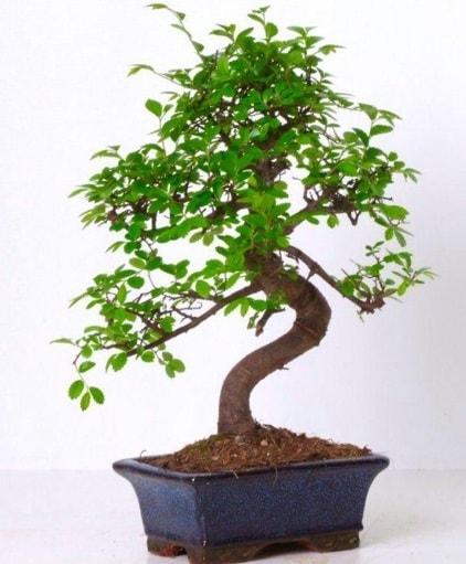 S gövdeli bonsai minyatür ağaç japon ağacı  Amasya çiçek gönderme sitemiz güvenlidir