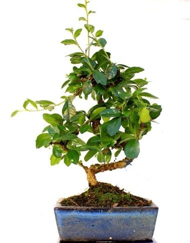 S gövdeli carmina bonsai ağacı  Amasya çiçek yolla  Minyatür ağaç