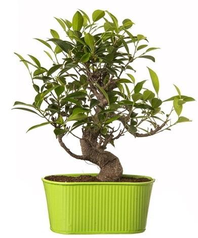 Ficus S gövdeli muhteşem bonsai  Amasya çiçek siparişi sitesi