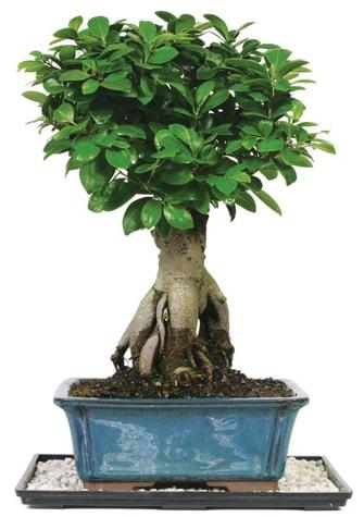 Bonsai Ginsing Grafted Ficus Bonsai  Amasya çiçek yolla